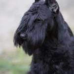 Schnauzer Miniatura negro: Uzi Latoya D'el Casa di Vita