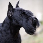 Schnauzer Miniatura Negro: Victorious Star to Can Rayo