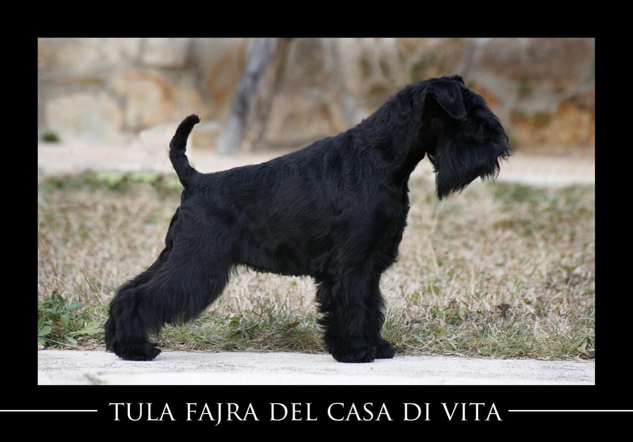 Tula Fajra del Casa di Vita-Schnauzer Miniatura Negro