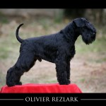 Schnauzer miniatura negro: Olivier Rezlark