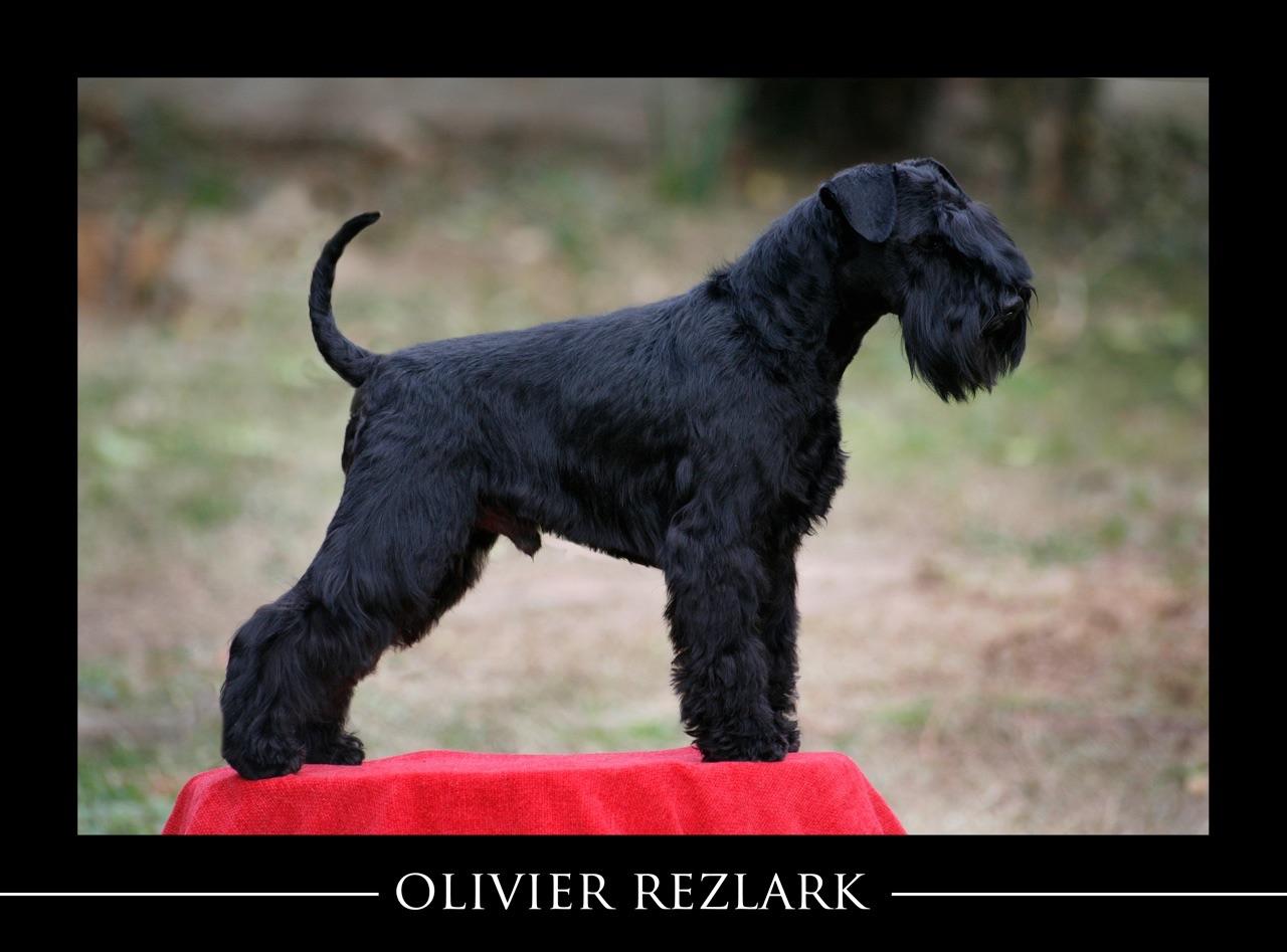 Olivier Rezlark-Schnauzer Miniatura Negro