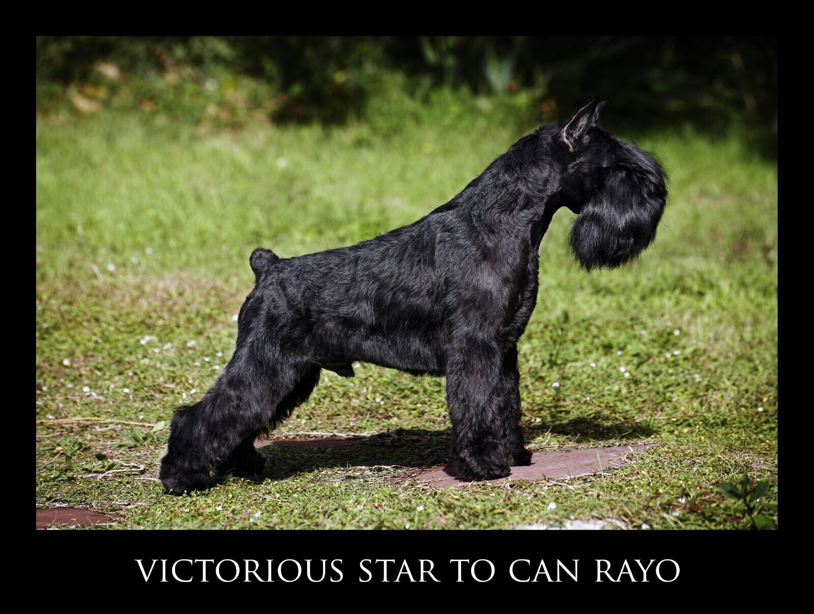 Victorious Star to Can Rayo-Black Miniature Schnauzer