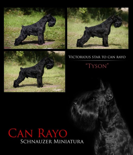 Schnauzer Miniatura Negro Victorious Star to Can Rayo