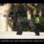 Ch España Jr Uzi Latoya del Casa di Vita-schnauzer miniatura negro