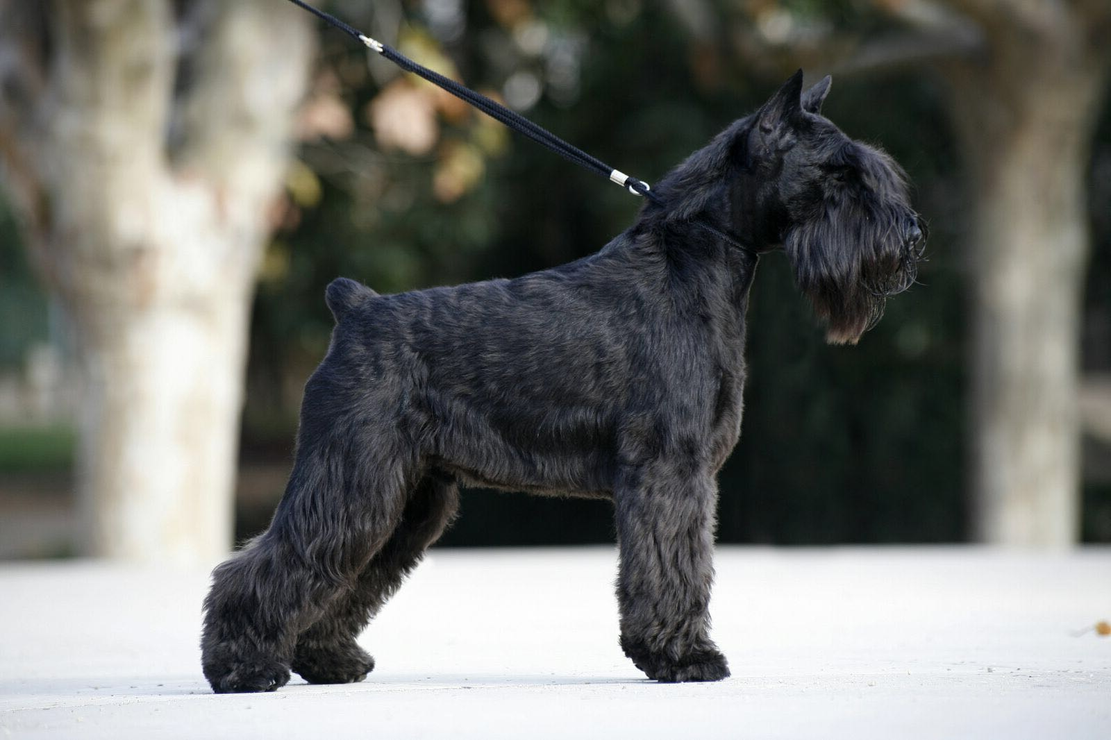 Dreamer de Can Rayo-Black Miniature Schnauzer
