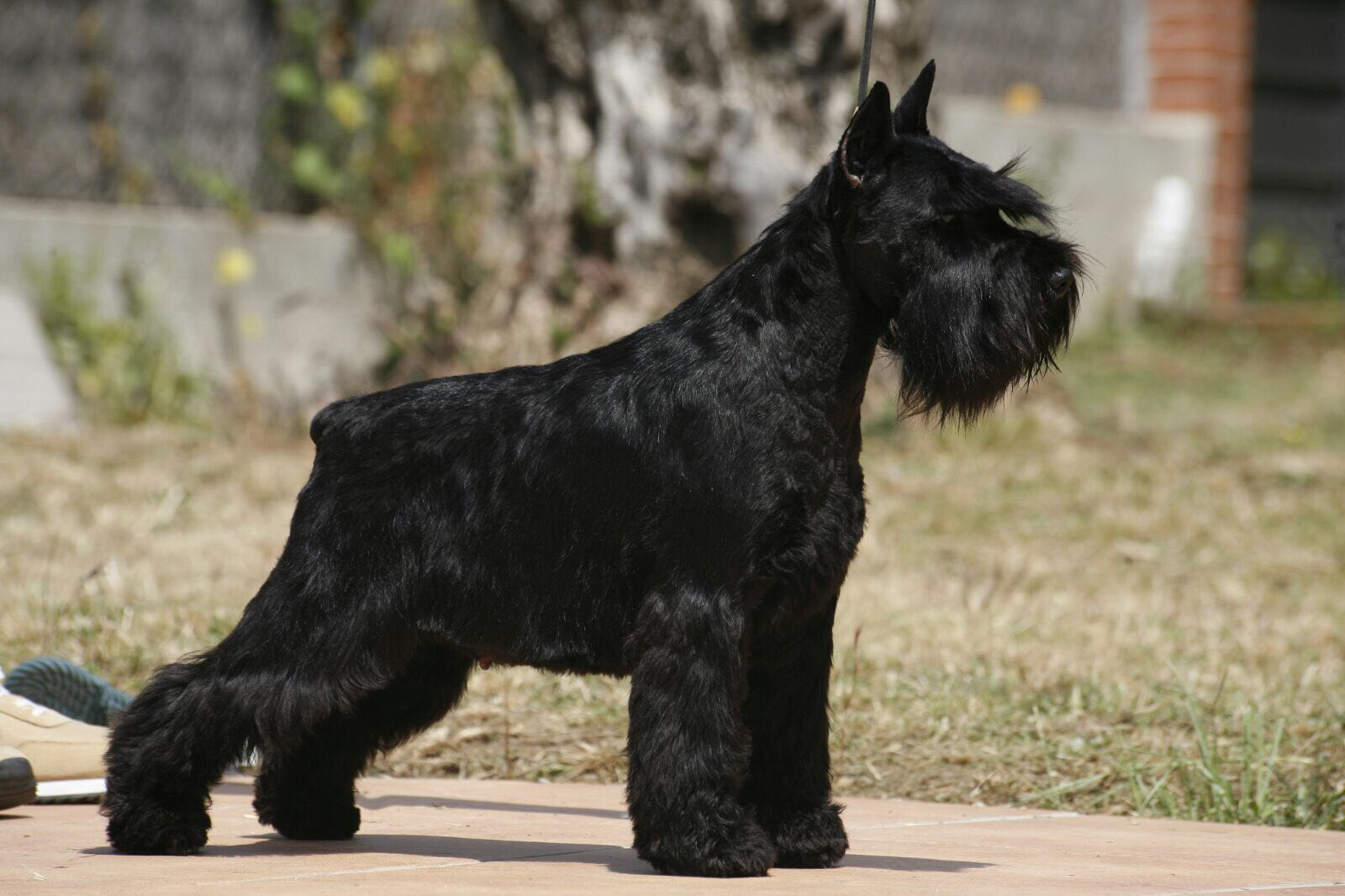 ISPU JCh. Astra Fortunata Ginger Berry de Can Rayo-Black Miniature Schnauzer
