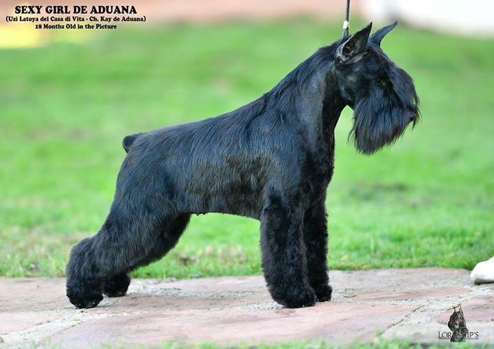 Sexy Girl de Aduana - Schnauzer Miniatura Negro
