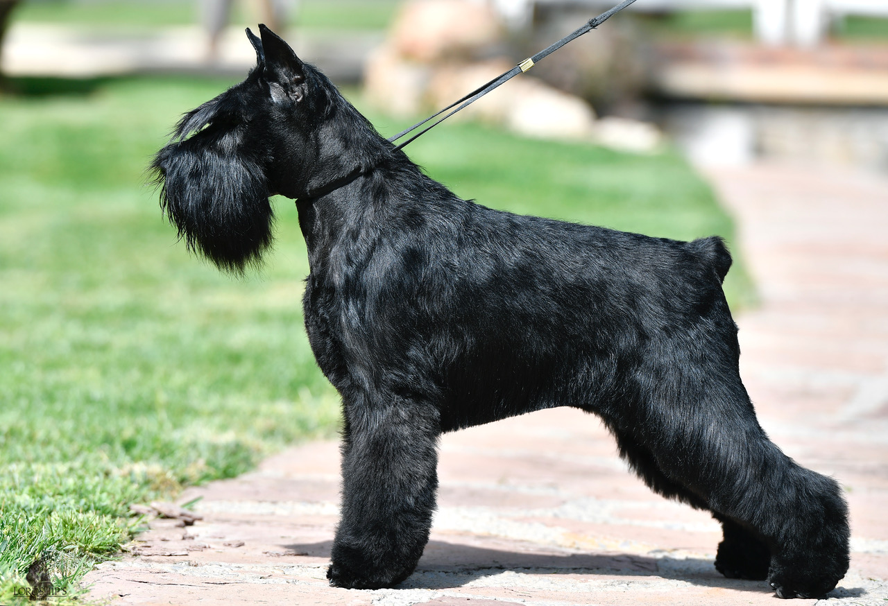 Astra Fortunata Showy Shine de Can Rayo-Black Miniature Schnauzer