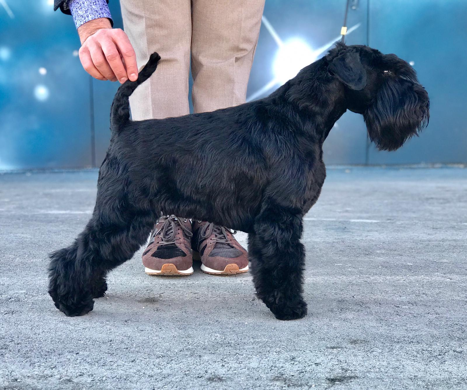 Solo de Can Rayo-Black Miniature Schnauzer