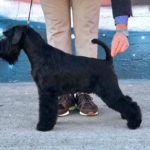 William Wallace de Can Rayo-Schnauzer Miniatura Negro