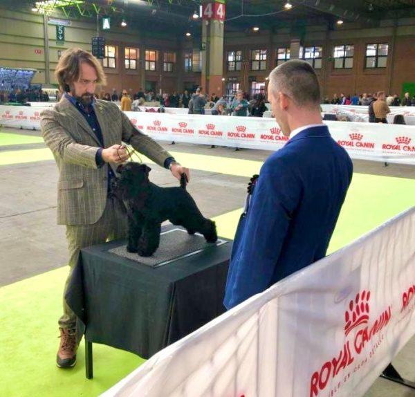 Cheiw Junior de Can Rayo en Zaragoza 2020. Schnauzer Miniatura Negro Macho